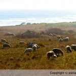 Sea Ranch Sheep and Goats Mowing Swale