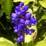 Blue-Ginger.jpg