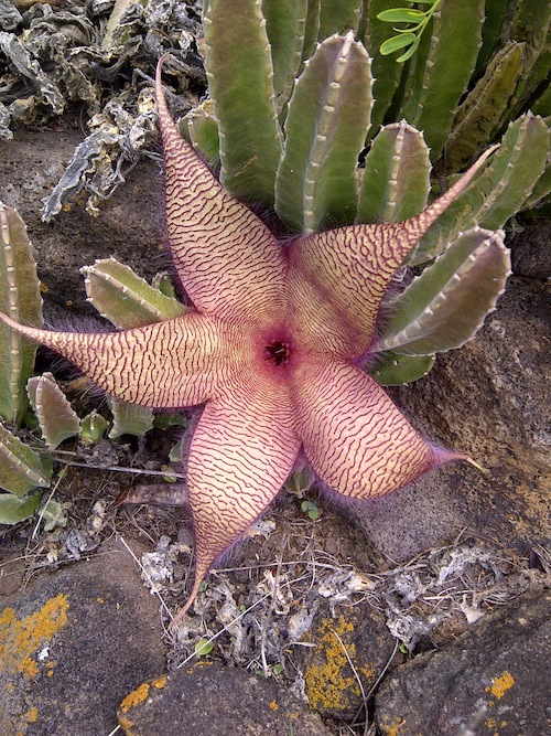 Stapelia gigantea:Starfish.jpg