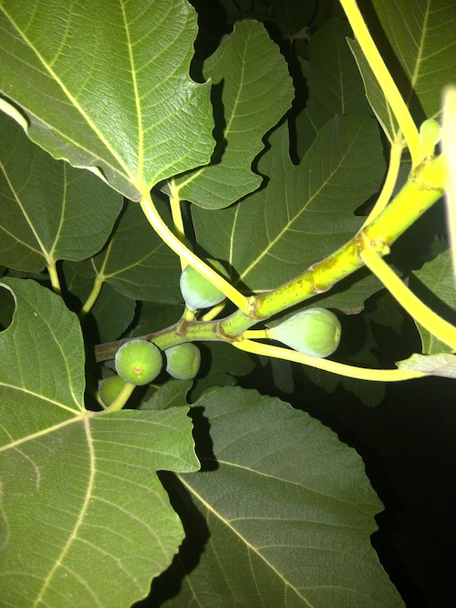 fig tree.jpg