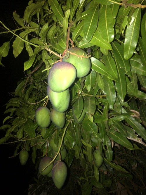 mangoes.jpg