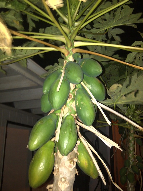 papaya.jpg
